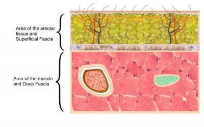 Fascial Anatomy